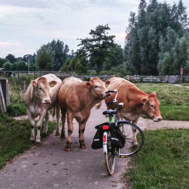 Cows in Holland